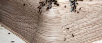 Как вывести муравьев из квартиры — причины, методы избавления